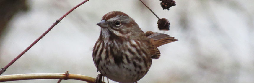 song sparrow, Great Backyard Bird Count
