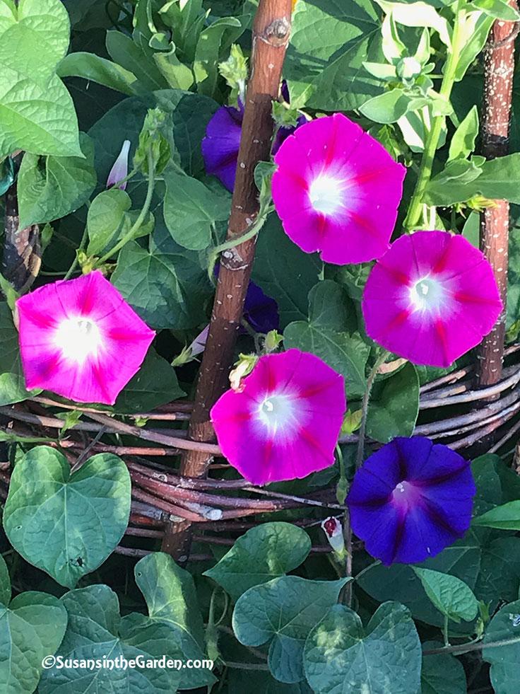 New Burpee Seeds Growing Great Susan S In The Garden