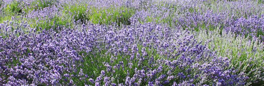 When To Prune Lavender Plants Susan S In The Garden